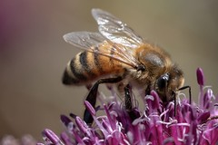 It's in here somewhere :) (gavsidey) Tags: purple insect macro ngc d500 honey bee western flower