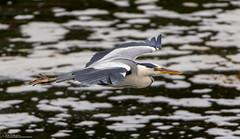 Grey Heron on the wing (Steve (Hooky) Waddingham) Tags: bird british countryside coast nature wild wildlife flight fishing photography
