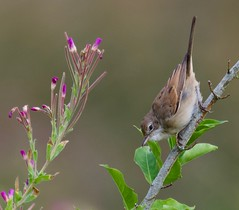 Juvenile Whitethroat (1 of 2) - Taken at Sywell Country Park, Sywell, Northants. UK. (Ian J Hicks) Tags: