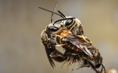 The Kiss (snomanda) Tags: sweat bee insect invertebrate arthropoda hymenoptera animal roosting kissing kiss halictidae apoidea critter bug roost