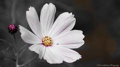 Beauty in White (Kerstin Winters Photography) Tags: details albuquerque newmexico flora nikkor nikondigital nikondsl flickr macro naturephotography nature naturfotografie nahaufnahme white blumen flowers flickrnature