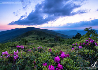 Rhododendrons at Blue Hour on Roan Mountain