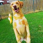 Daisy stands for a piece of cheese which she caught in a gulp. thumbnail