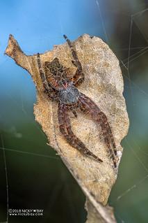 Tent web spider (Cyrtophora citricola) - DSC_6354b