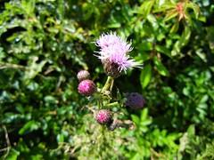 DSCN5664, Plants at Fort Hill, July 2018 (a59rambler) Tags: capecod massachusetts