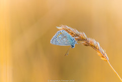 Common Blue - Polyommatus icarus (frattonparker) Tags: btonner bokeh butterfly contrejour depthoffield farfalle isleofwight lightroom6 mariposa meadow nikond810 papilon raw schmetterling summer tamron28300mm frattonparker roosting