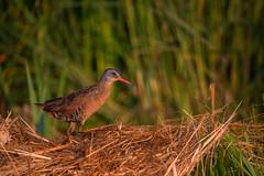 Virginia Rail (nikunj.m.patel) Tags: marsh virginiarail rails nature wild wildlife bird birds outdoor nikon naturephotography water maryland delmarva