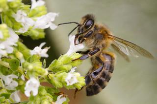Honey bee on oregano