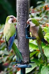 Monk Parakeets (bmasdeu) Tags: monk parakeets quaker parrot green bird birdfeeder tropical florida wildlife backyard