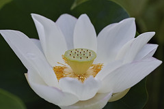 20180728_法金剛院_sdQH_143 (mu_x2012) Tags: sigma sd quattro h 70mm f28 dg macro art houkonngouinn kyoto japan