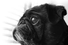Neighbourhood Watch (yasjooni) Tags: nikon nikond7200 d7200 photography pug dog animal blackwhite blackandwhite monochrome monotone reflections reflection