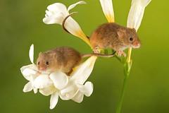 Harvest Mice Antics