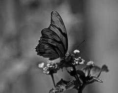 Summer Grays (ACEZandEIGHTZ) Tags: nikon d3200 blackandwhite monochrome butterfly iulia lantana bw insect flying bokeh orange julia
