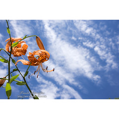 Tiger lily flower under sky (Fotarts) Tags: オニユリの花 花 flower lily sky nature natural