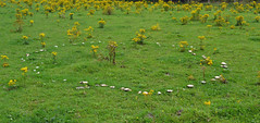 fairy ring of field  mushrooms (conall..) Tags: agaricus campestris field mushroom agaricaceae mushrooms ragwort rough pasture county down tullynacree nw551041 annacloy grass ring fairyring fruitingbodies fairy