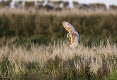 its a long time since ive photographed a barn owl like this , such a delight  ! (Yvonne Alderson) Tags: owl barn barnowl hunting evening uk summer teesside yvonne yvonnealdersonyvonnealderson
