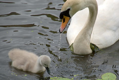 Cute mother and baby swan (Tony Worrall) Tags: preston lancs lancashire city welovethenorth nw northwest update place location uk england north visit area attraction open stream tour country item greatbritain britain english british gb capture buy stock sell sale outside outdoors caught photo shoot shot picture captured ashtononribble ashton bird birds cute wet water canal baby young wild wildlife cygnet swan natural