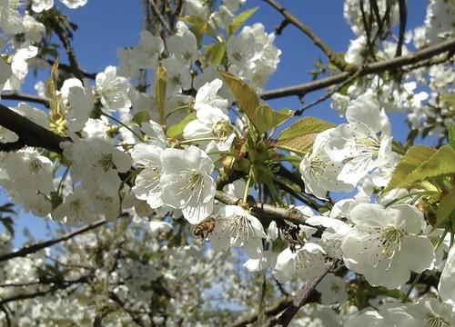 abeille sur une fleur de cerisier