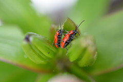 Scarlet Lovers! (suekelly52) Tags: scarletlilybeetle beetle insect insecthumpday green