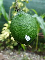 Mealybug destroyer on citrus fruit and feeding on scale insects (Plant pests and diseases) Tags: mealybug destroyer citrus fruit scale insects