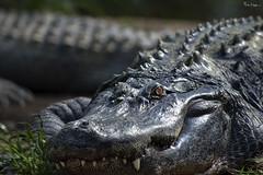 "The name ""Alligator"" is probably an anglicized form of el lagarto, the Spanish term for ""The Lizard"" ~ Wikipedia (Karnevil) Tags: usa nc northcarolina asheboro asheborozoo zoo northcarolinazoo nczoo africaexhibit africaregion africaarea alligator alligatoridae gator reptilia chordata animalia crocodilia alligatorinae eye teeth jaws biglizard zoom zoomlens 400mm nikon d610 petekreps"