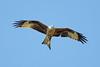 Red Kite 4 (Hugobian) Tags: red kites kite bird birds nature wildlife fauna flight flying raptor pentax k1 stilton