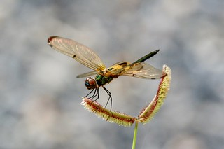 Yellow-barred Flutterer,  Rhyothemis phyllis (Thailand)