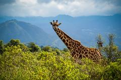 Masai giraffe (Giraffa tippelskirchi) (claudiacridge) Tags: ungulate giraffa bush forest africa tanzania masaigiraffe giraffe masai