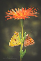 Twin Butters (Red Gecko Photography) Tags: butterflies insects flower orange nature colours