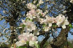 Apple tree flowers (*SHERWOOD*) Tags: france vendée larochesuryon home garden appletree flowers