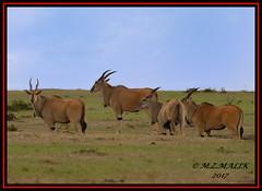 ELAND (Tragelaphus oryx).....MASAI MARA....SEPT 2017 (M Z Malik) Tags: nikon d800e 400mmf28gedvr kenya africa safari wildlife masaimara keekoroklodge exoticafricanwildlife ngc