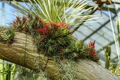 Tillandsia ionantha (dl5edf) Tags: alpha7ii blumen blumenundpflanzen bochum botanischergarten natur pflanzen rub nature
