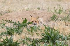 Red Fox vixen playing peekaboo