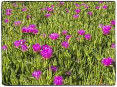 UÑA DE LEON (BLAMANTI) Tags: uña uñadeleon flores plantas canon canonpowershotsx60 blamanti rosa colorido color hermoso hermosa