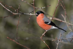 Bullfinch ♂ (Pyrrhula pyrrhula) (Rosehip Mike) Tags: pyrrhula eurasian bullfinch finches finch birds british bird photography britain bokeh europe nature england english united kingdom wildlife red colourful colour common uk passerine posing pose poser perch perched adult small spring summer song outdoor animal male