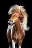 Horsestyle (camerajabber) Tags: pferd pferde pferdefoto pferdefotograf pferdefotografie pony schütteln springen studio tierfotograf tierfotografie warmblut animal equine equus fineart horse horsephotography photography
