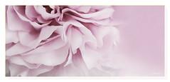Sweet lightness (c.ferrol) Tags: pastel suave levedad peonía rosa flor