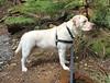 Gracie in profile (walneylad) Tags: gracie dog canine pet puppy cute lab labrador labradorretriever april spring afternoon princesspark