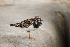 Ruddy Turnstone (Future-Echoes) Tags: 4star 2018 animal bird bokeh depthoffield dof essex ruddyturnstone waltononthenaze wildlife england unitedkingdom gb