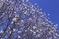 Cylburn Arboretum ~ Magnolia cotton (karma (Karen)) Tags: baltimore maryland cylburnarboretum parks trees magnolia blossoms htmt topf25 cmwd