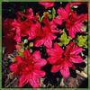 Vivid. #Takoma #dc #dclife #washingtondc #iphone #iPhonemacro #macro  #flower #flowersofinstagram (Kindle Girl) Tags: iphone takoma dc dclife washingtondc iphonemacro macro flower flowersofinstagram