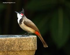 IMG_1778 Red-whiskered Bulbul (Pycnonotus jocosus) (vlupadya) Tags: greatnature animal aves fauna indanbirds redwhiskered bulbul pycnonotus kundapura karnataka