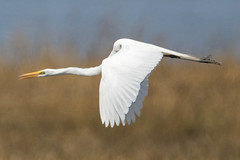 Great Egret at Bombay Hook (Scott Alan McClurg) Tags: aalba ardea ardeidae bombayhook flickr animal bird flap flapping flight flying greategret land landing life nature naturephotography neighborhood spring white wild wildlife