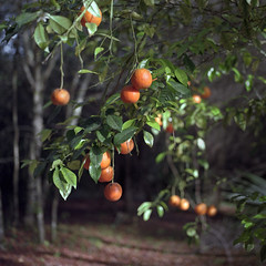 Laden (macromary) Tags: morninglight citrusgrove orangegrove agriculture floridaagriculture smalltown smallfarm filmcamera vintage vintagecamera vintagelens oldglass manual mechanicalcamera analog availablelight analogphoto 120film bokeh depthoffield dof 120 mediumformat hassy hasselblad hasselblad500cm carlzeissplanar80mmf28ct planar 80mm portra portra160 color colour colourfilm floralcity banesgrove grove airbnb florida oldflorida fruit zeiss zeisslens orange oranges citrus citrusfruit hassey