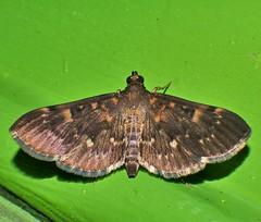 Sooty Bead chain moth Syllepte sp Spilomelinae Crambidae Airlie Beach Rainforest P1250149 (Steve & Alison1) Tags: sooty bead chain moth syllepte sp spilomelinae crambidae airlie beach rainforest