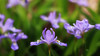 The Crested Dwarf Iris (Waterfall Guy) Tags: wildflower crested dwarf iris great smoky mountains national park tennessee beard cane trail