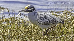 Yellow-Crowned Night Heron IMG_8188 (ronzigler) Tags: yellowcrowned night heron bird birdwatcher avian sigma 150600mm nature canon