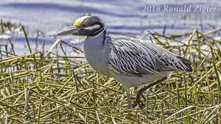 Yellow-Crowned Night Heron IMG_8188