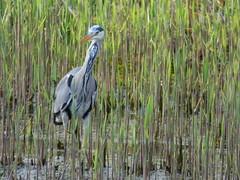 Heron (LouisaHocking) Tags: heron nature british bird birds wild wildlife cardiff forest farm