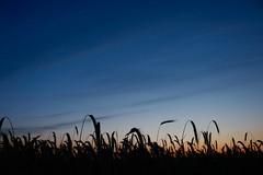 Morgendämmerung (Rod Elbahn) Tags: sonnenaufgang sonnenuntergang sunset sunrise sky himmel blau kornfeld getreide landschaft landscape night nacht